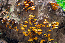 Yellow Tree Fungus On Uprooted Tree Roots