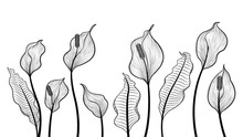 Peace Lily Flowers Hand Draw V...