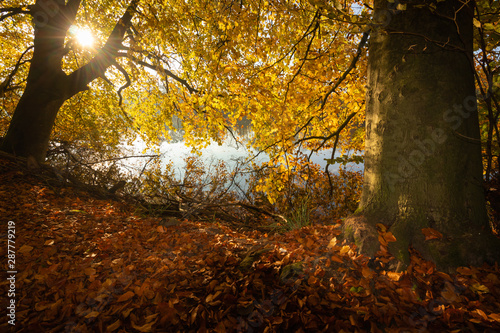 Fototapeta  fall atmosphere with bright yellow autumn leaves