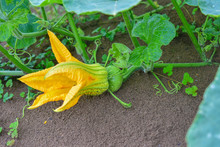 Pumpkin Flower, Pumpkin Flower From Thailand Country