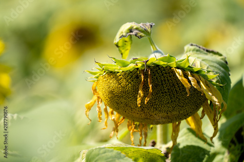 Cuadros en Lienzo Wilting, dead sunflower on a sunny summer day