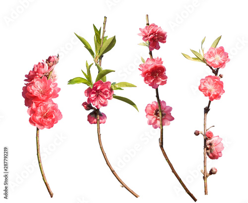Peach blossom flower collection isolated on white background Canvas Print