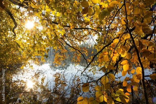 Fotografie, Obraz  bright yellow leaves, fall colors, autumn texture background