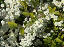 """Spiraea Prunifolia """"Pleniflora"""""""