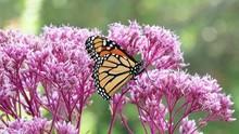 Monarch Butterfly Feeding On Joe Pye Weed