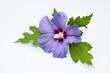 Leinwandbild Motiv Beautiful flower of hibiscus syriacus on white background