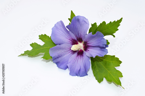 Beautiful flower of hibiscus syriacus on white background