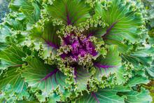 Ornamental Kale For Garden Decoration