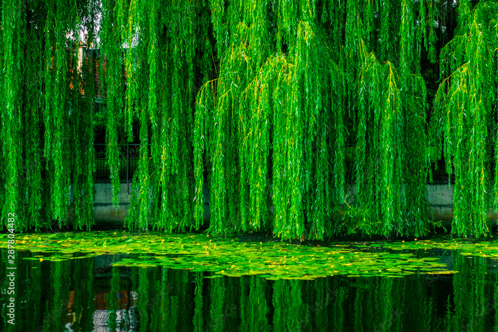 Fototapety, obrazy: Dense green willows over the lake. Willow branches with dense green foliage