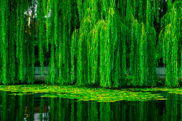 Fototapeta Rzeki i Jeziora Dense green willows over the lake. Willow branches with dense green foliage
