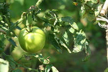 Green Tomatoes In A Garden; Cl...