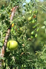 Unripe Green Tomatoes Growing On The Garden Bed. Tomatoes In The Greenhouse With The Green Fruits.