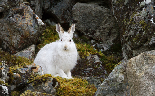 Wallpaper Mural Close up of a Mountain hare in the highlands