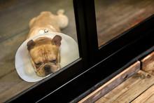 Sad Sleepy Dog Wear Cone Look ...