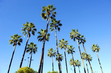 Very Tall Palm Trees With A Br...