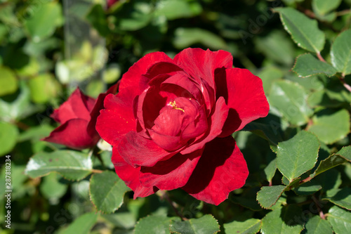 red rose in the garden