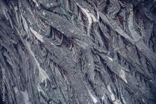Fototapeta  Old walnut tree trunk detail texture as natural background