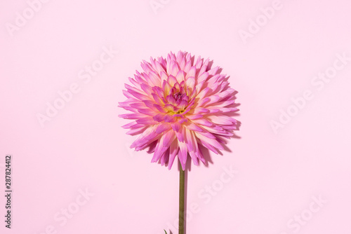 Pink dahlia flower on pastel background. Top view. Flat lay. Copy space. Creative minimalism still life. Floral design.