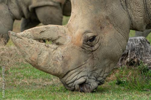 Canvas Prints Rhino Nashorn am fressen