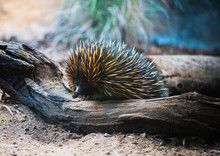 Echidna Walking Over Branch