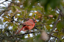 Molting Norther Cardinal Male