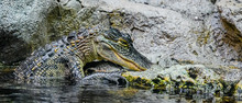 Young American Alligator With ...