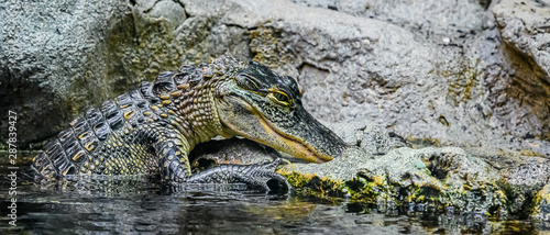 Photo Young American Alligator with Hand out of the clear water pond.