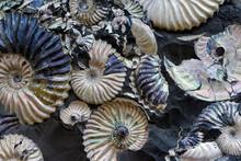 Fossilized Seashells In A Blac...