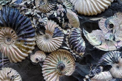 Fossilized seashells in a black stone Canvas Print