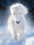 white fluffy shetland pony runs free in winter meadow