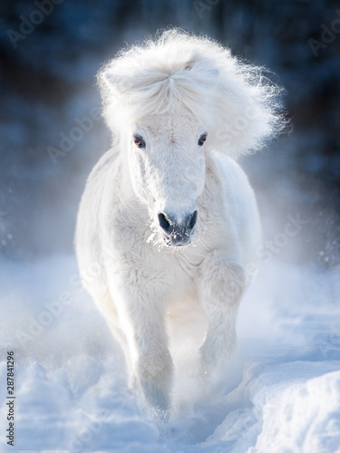 Obraz na plátně white fluffy shetland pony runs free in winter meadow
