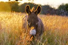 Mini Donkey In Fall Grass Walk...