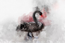 Watercolor Illustration Of A Black Swan On A White Background. Swan. Watercolor Bird.