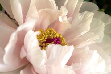 Obraz na Szkle Peonie Pink Peony