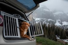 Dog In The Car In The Box. A Trip With A Pet. Nova Scotia Retriever Outdoo