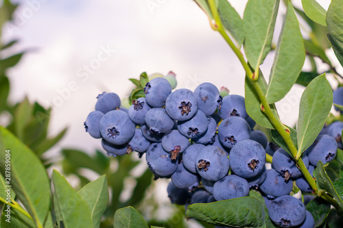 Fototapety, obrazy: blueberry berry collected in a bunch of close-ups on a green bush. Nutrition Nutrition Concept