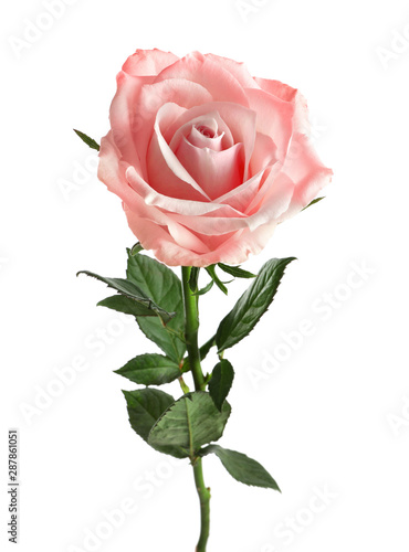 Beautiful blooming rose flower on white background