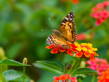 American Painted Lady On Lanta...