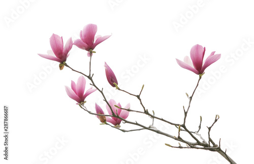 Foto op Plexiglas Magnolia magnolia flower spring branch isolated on white background