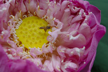 Close Up Inside Lotus Flower With Some Bee.