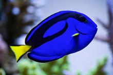 Regal Blue Tang Fish In Aquarium
