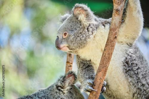 Poster Koala Baby koala climbing and eating around a tree with eucalyptus leaves
