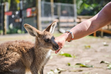 Woman Petting Baby Kangaroo Jo...