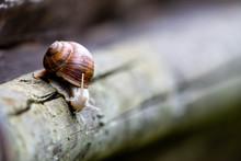 Edible Snail (Helix Pomatia) Sitting On A Wooden Log.