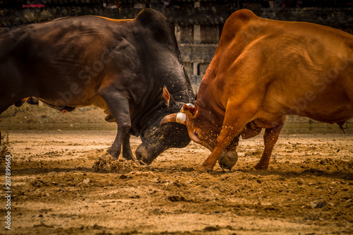 Bull fighting is a traditional game in southern of Thailand.