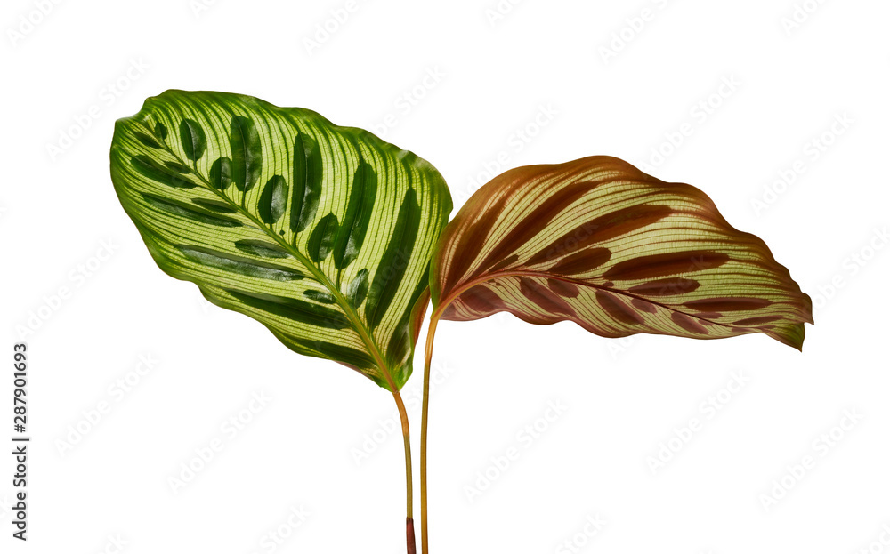 Fototapety, obrazy: Calathea makoyana foliage, Peacock plant or cathedral windows, Exotic tropical leaf, isolated on white background with clipping path