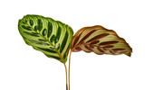 Fototapeta Tulips - Calathea makoyana foliage, Peacock plant or cathedral windows, Exotic tropical leaf, isolated on white background with clipping path