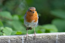 Portrait Of A European Robin (erithacus Rubecula) Perching On A Wooden Fence