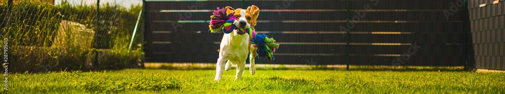 Fototapeta Beagle dog fun in garden outdoors run and jump with ball towards camera