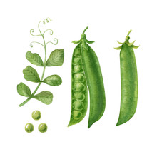 Peas, Pods And Pea Leaf Isolated On White Background. Green Vegetable.Watercolor Handdrawn Illustration. Hand Made Clipart.
